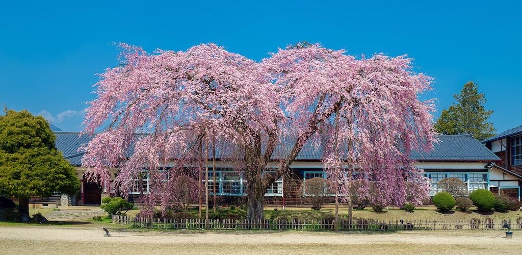 杵原学校の桜
